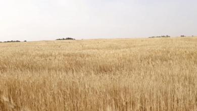 صورة تعثر الحصاد في وادي عتبة يُهدد المزارعين بخسائر فادحة