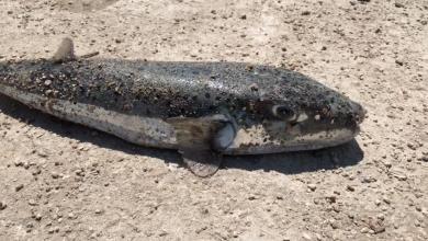 Photo of سمكة الأرنب السامة تنتشر في سواحل ليبيا (صور)