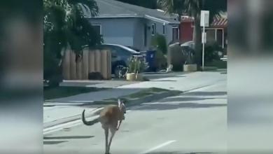 Photo of كنغر هارب يثير الذعر في فلوريدا.. شاهد الفيديو