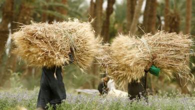 صورة مصر تشتري أكثر من 500 ألف طن من القمح الروسي