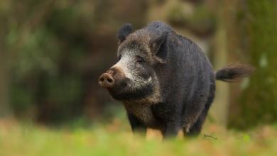 """صورة علماء يحذرون: الخنازير البرية """"قنبلة موقوتة"""" في أميركا"""