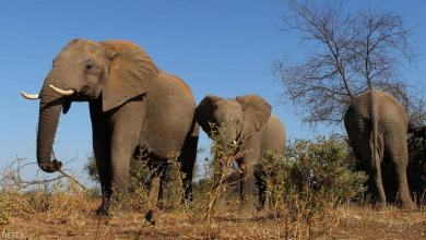 صورة نفوق مُحير للفيلة في زيمبابوي