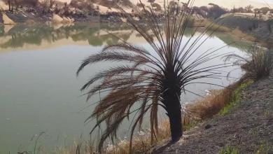 """صورة النيران تلتهم أشجار النخيل ببحيرة مافو """"صور"""""""