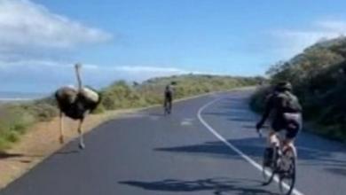صورة بالفيديو.. نعامة تقتحم سباق دراجات هوائية وتنافس المتصدر