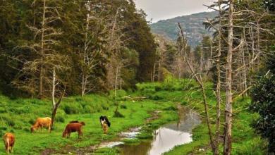 """""""غابات الوسيطة"""" بالجبل الأخضر أنموذجاً لانحسار الغطاء النباتي"""